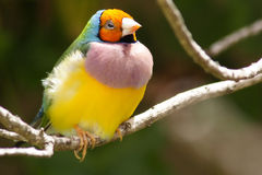 gouldian hövdad orange för finch Royaltyfri Bild