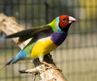 Gouldian Red-headed  finch male australian Stock Image