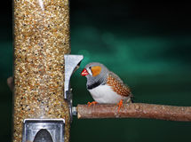 Gouldian Zebra Finch Royalty Free Stock Photos