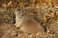 Gound Hog. Ground hog peeking out of his hole Royalty Free Stock Photos