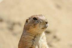Goundhog di Brown sull'orologio Fotografie Stock