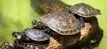 Goup желт-запятнанных unifilis Podocnemis черепах Амазонкы Стоковое Изображение