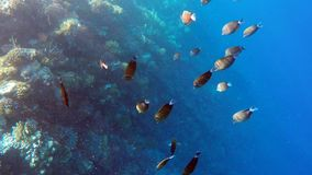 Goup of butterfly fish on coral reef. Against deep blue sea water in Egypt, Safaga stock video footage