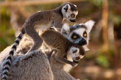 A goup of cute ring-tailed lem Stock Images
