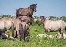 Goup of Konik horses Stock Photos
