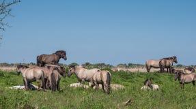 Goup of Konik horses Stock Image