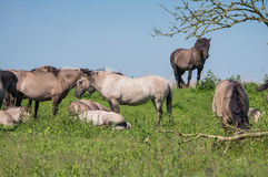 Goup of Konik horses Stock Images