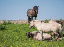 Goup of Konik horses Royalty Free Stock Photo