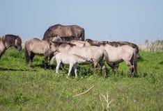 Goup of Konik horses Royalty Free Stock Photos