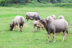 Goup of Water buffalo standing on green grass Royalty Free Stock Images