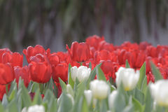 Goup of white and red tulip flowers in the garden Royalty Free Stock Photography