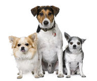 Goupe Of Dog: Two Chihuahua And A Jack Russell Stock Photography