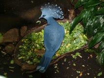goura koronowany gołąb Victoria fotografia stock