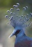 goura koronowany gołąb Victoria Zdjęcia Royalty Free