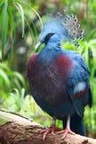 Goura Victoria (pombo coroado Victoria) imagem de stock royalty free