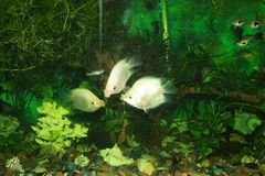 Gourami φιλήματος ψαριών ενυδρείων Στοκ Φωτογραφίες