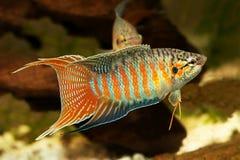 Gourami ψαριών παραδείσου τροπικά ψάρια ενυδρείων opercularis Macropodus Στοκ Φωτογραφία