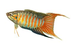 Gourami ψαριών παραδείσου τροπικά ψάρια ενυδρείων opercularis Macropodus Στοκ εικόνα με δικαίωμα ελεύθερης χρήσης