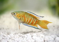 Gourami ψαριών παραδείσου τροπικά ψάρια ενυδρείων opercularis Macropodus angelfish Στοκ Φωτογραφία