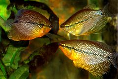 Gourami Stock Photography