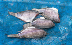 Gourami fish Stock Photography