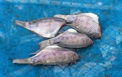 Gourami fish. Salt gourami fish dry on blue net Stock Photography