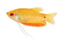 Gourami van aquariumvissen Gouden trichopterusgoud van Trichogaster stock foto
