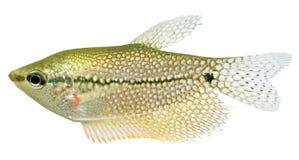 Gourami van het kant vissen (Gourami van de Parel) Royalty-vrije Stock Afbeelding