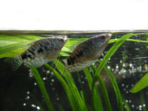 Gourami on water surface Royalty Free Stock Image