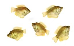 Gouramis. Dwarf Gouramis isolated over a white background Royalty Free Stock Image