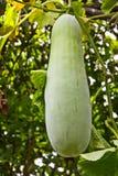 gourd Стоковое Фото