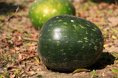Gourd Royalty Free Stock Images