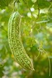 gourd Стоковые Фото