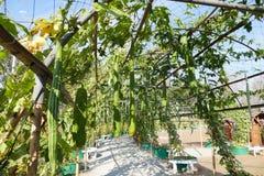 Gourd calabash growing on arch pergola Stock Photos