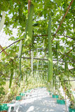 Gourd calabash growing on arch pergola Royalty Free Stock Photo