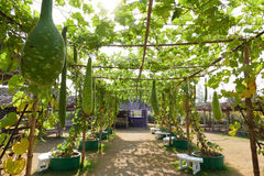 Gourd calabash growing on arch pergola Stock Photography