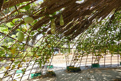 Gourd calabash growing on arch pergola Stock Photo