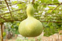 Gourd de frasco Imagens de Stock