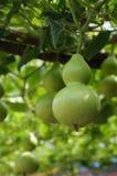 Gourd decorativo fotografia de stock