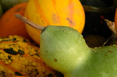 Gourd Dew Royalty Free Stock Photo