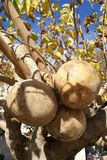 Gourd growing on a tree Royalty Free Stock Photos