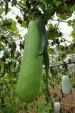 Gourd and momordica in organic farm Royalty Free Stock Photos