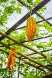 Gourd ripe fruit hanging Stock Photography