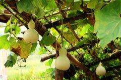 Gourds, котор росли для еды, Вьетнам Стоковая Фотография RF