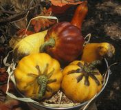 Gourds. Multi-colored gourds in a bucket with autumn leaves in the background Stock Image