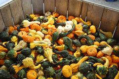 Gourds of Autumn. Gourds from a farm orchard stand in the Pocono Mountains of Pennsylvania royalty free stock image