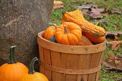 Gourds in Basket royalty free stock image