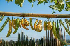 Gourds, beans, and bitter melons on a string Royalty Free Stock Photography