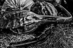 Gourds. A black and white image of some gourds on hay stock image