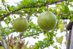 The gourds (BOTTLE GOURD) Royalty Free Stock Image